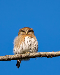 Northern Pygmy-Owl (RJ Thomas Photography) Tags: nikon d800 northernpygmyowl
