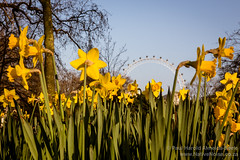 The London Eye Through Daffodils in St. James' Park