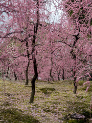 20160229-110027_5K_80 (pya) Tags: kyoto  camellia plumblossoms jonangu     weepingplumblossoms