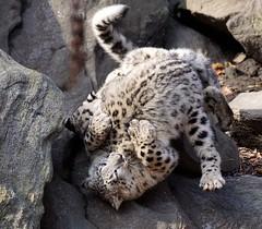 Snow Leopard Cubs Wrestling (greekgal.esm) Tags: newyork cub feline bronx sony bigcat bronxzoo snowleopard sal70300g himalayanhighlands a77m2 a77mii