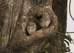 Spotted Owlets - Athene brama (Gary Faulkner's wildlife photography) Tags: spottedowlet indianbirds