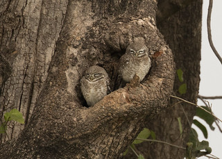 Spotted Owlets - Athene brama