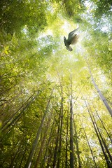 Hope Takes Flight (ShutterJack) Tags: leaves forest hope nikon peace dove flight wing feather bamboo lookingup shoots overhead tranquil towering jameshale jimhale shutterjack