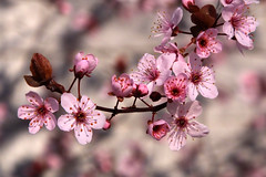 In the Pink (Cam Miller 2016) Tags: pink spring plumblossoms