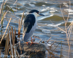 Night Heron Patiently Waits... (dcstep) Tags: urban copyright david heron nature us spring colorado all unitedstates c flight rights aurora pro dxo stephens reserved optics blackcrownednightheron 2016 1054 cherrycreekstatepark natureurban canon7dmkii ef500mmf4lisii y6a8635dxo