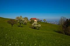 _MG_1890 (TobiasW.) Tags: austria blossom blossoms pear flowering blte niedersterreich obersterreich blten 2016 birnbaum upperaustria loweraustria mostviertel birnbaumblte weises moststrasse moststrase peartee
