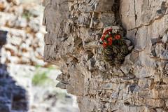 (o texano) Tags: cactus texas desert canyon westtexas guadalupemountainsnationalpark guadalupemountains chihuahuandesert devilshall echinocereuscoccineus scarlethedgehog