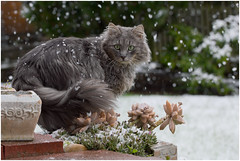 I wonder what happened to spring ... (FocusPocus Photography) Tags: schnee pet snow animal cat chat gato april katze haustier kater tier fynn fynnegan