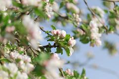 Spring is here (K3romix) Tags: tree apple spring blte baum apfel frhling