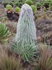 IMG_0919  Plant (John Steedman) Tags: africa plant flower trek kenya afrika kenia afrique eastafrica mountkenya ostafrika     afriquedelest