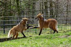 Mhnenwolf / Maned Wolf (Doris & Michael S.) Tags: animals tiere manedwolf mhnenwolf aguarguaz loupcrinire