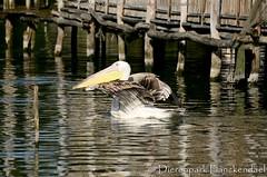kroeskoppelikaan - Pelecanus crispus - Dalmatian Pelican (MrTDiddy) Tags: bird kroes pelican dalmatian kop planckendael vogel pelikaan dierenpark pelecanus crispus kroeskoppelikaan dierenparkplanckendael kroeskop