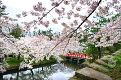 Sakura Bridge. Hirosaki.   Glenn E Waters. Japan 2016. (Glenn Waters in Japan.) Tags: castle japan spring nikon sakura hirosaki d800 2016 glennwaters
