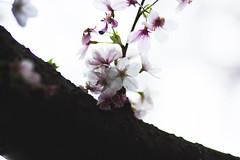 IMG_6721 (elenafrancesz) Tags: cherry blossoms wordless