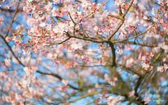 DSC06955 (sigma9988) Tags: pink 3 flower cherry 50mm blossoms taiwan f18 花 台灣 淡水 櫻花 danshui 天元宮 櫻 粉 oreston gorlitz meyeroptik