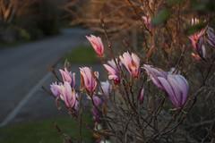 Sigma UC 28-70mm f3.5-4.5 (edmundrt) Tags: flowers sunset flower evening pentax sigma somerset 2870 sigmalens k100d pentaxk100d pentaxiansstandup