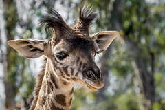 Giraffe Junior (helenehoffman) Tags: baby animal tanzania mammal kenya giraffe sandiegozoo giraffacamelopardalistippelskirchi masaigiraffe specanimal kilimanjarogiraffe conservationstatusthreatened