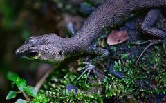 Lizard 15 (orientalizing) Tags: desktop peru animals lizard featured amazonbasin ahuashiyacu potamitesstrangulatus bigscaledneusticurus sanmartinprovince tarapotodistrict