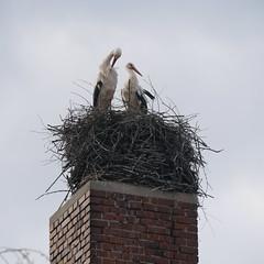 Strche putzen ihr Federkleid (SteffenKahl) Tags: germany homepage stork storch ragow