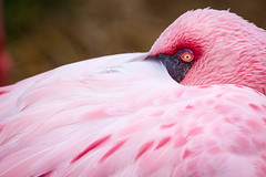 Watchful (Scriblerus) Tags: flamingo feathers pinkflamingo birdseyeview memphiszoo chileanflamingo
