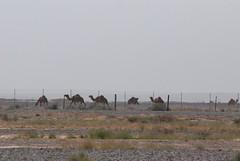 Shaumari Nature Reserve - Azraq, Jordan - Camels outside the Reserve (jrozwado) Tags: asia reserve jordan camel azraq    shaumari