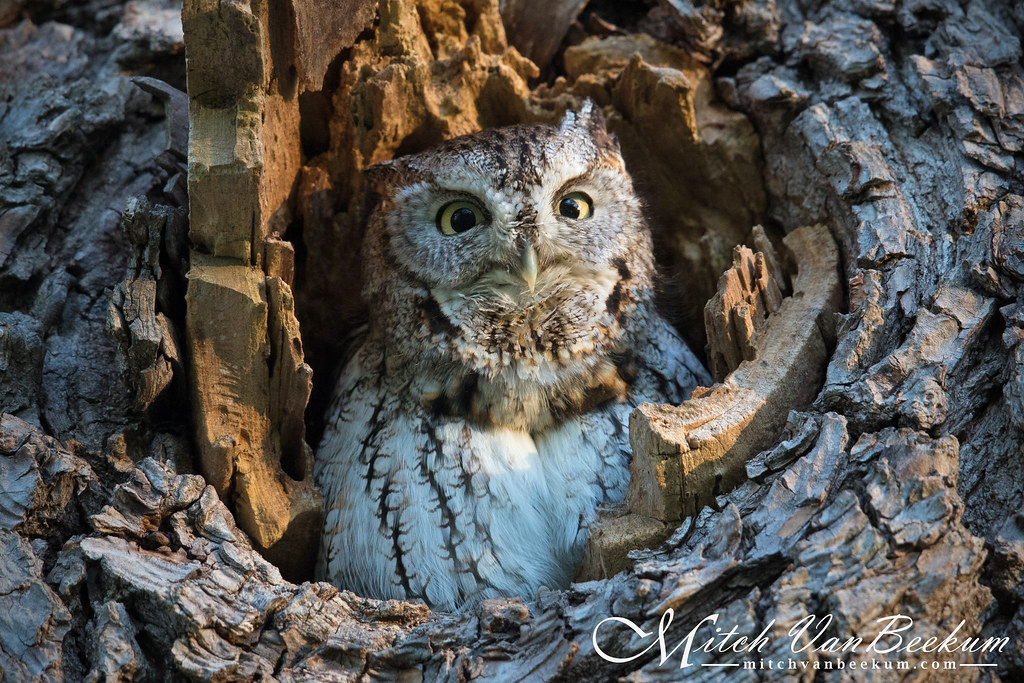 Eastern Screech Owl (Finally!!!!)