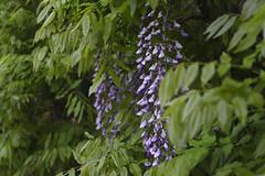 _DSC2106 (Osamu1965) Tags: flower japan zeiss garden spring sony contax jp   okayama     a7m2  carlzeissvariosonnart2870mmf3545mm