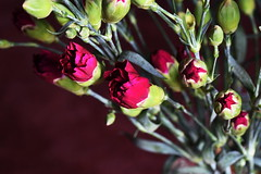 DSC_0865 Roses (PeaTJay) Tags: flowers roses plants macro nature rose gardens fauna reading flora sigma indoors micro closeups berkshire rosebuds lowerearley nikond750