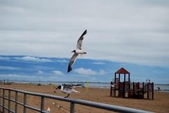 DSC_2096 (abi.rayner) Tags: blue sky seagulls newyork bird nature birds landscape coneyisland island photography flying photo wildlife seagull coney