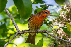 House Finch (Lallee) Tags: red house tree male bird nature florida finch