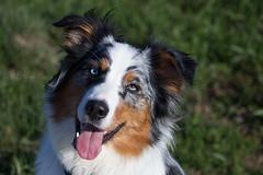 Brooke (StarryEyedAussie) Tags: dog dogs puppy shepherd australian ivy brooke hund aussie hunde welpe htehund aussiebrooke aussieivy