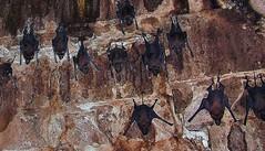 INDIEN, Fort Gwalior, Bats in the dark vaults, , 13609/6582 (roba66) Tags: travel wild india tourism nature animal animals fauna dark keller tiere reisen asia asien vampire urlaub visit dracula explore horror creature gwalior indien dunkel tier inde voyages fledermaus northernindia fledermuse roba66 indiennord indienfortgwalior
