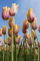 Tulips (rsusanto) Tags: seattle flower washington tulip skagit skagittulipfestival flowerphotography