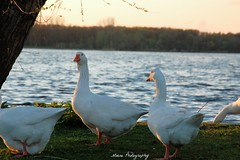 Goose (Mone-Photography) Tags: lake bird nature animal animals goose kralingen roterdam kralingseplas