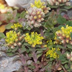 Alyssum simplex Rudolphi (Peter M Greenwood) Tags: alyssum simplex alyssumsimplex