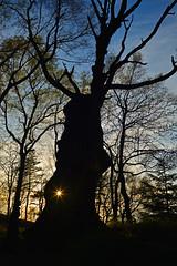 Sonnenuntergang an der Opfereiche (Sandsteiner) Tags: sunset sonnenuntergang landschaft frhling elbsandsteingebirge zschirnstein sandsteiner