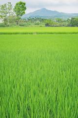 # (David C W Wang) Tags: green country taiwan kaohsiung   ricefield       meinung