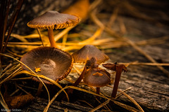 Mushrooms (McMac70) Tags: autumn fall nature mushrooms herbst jahreszeiten natur ostfriesland pilze smcpentaxda18135mmf3556edalifdcwr pentaxk3