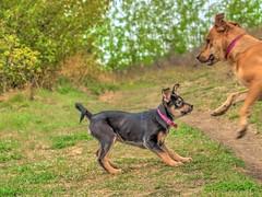 Chloe and Roxy (MSVG) Tags: park dog fish canada calgary creek puppy shepherd chloe rottweiler german alberta boxer pup roxy rottweiller provincial