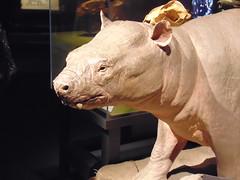 Early Proboscine (Hydra5) Tags: mammothsandmastodons moeritherium ontariosciencecentre prehistoric