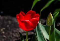 Tulip season at my backyard (Igor Sorokin) Tags: flower closeup contrast nikon sigma tulip dslr 1770 d7000