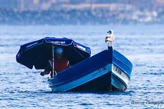 La mouette du pcheur - Morocco (Bouhsina Photography) Tags: sea mer fish color bird canon boat fishing bleu morocco parasol maroc bateau poisson oiseau couleur ttouan mouette barque pche 70d marinasmir ef100400ii