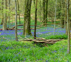 The Twiggy Bridge - as seen in Explore (oh.suzannah) Tags: blue green woods bluebell