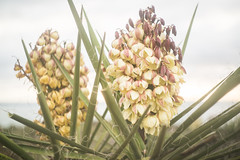 1G1A9397 (atiredmachine) Tags: california plants flower muted