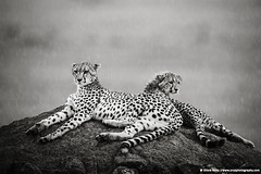 Masai Mara, Kenya (ORYXphotography) Tags: africa blackandwhite nature water rain weather animal horizontal mammal outdoors togetherness day kenya wildlife ken bigcat cheetah spotted savannah resting copyspace relaxation sideview lying sidebyside lookingaway termitemound tranquilscene riftvalley eastafrica animalsinthewild cheetahcub blurredmotion carnivora younganimal maleanimal africanwildlife greatriftvalley adultanimal femaleanimal masaimaranationalreserve beautyinnature twoanimals animalfamily catfamily thenaturalworld ontopof safarianimals differentialfocus vulnerablespecies parentanimal clearbackground undomesticatedcat motheranimal masaimaranationalgamereserve immatureanimal