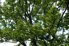 madrberkenye fa / rowan tree (debreczeniemoke) Tags: tree forest spring rowan fa tavasz mountainash rosaceae sorbusaucuparia erd vogelbeere sorbierdesoiseleurs pyrusaucuparia sorbodegliuccellatori madrberkenye rzsaflk sorbierdesoiseaux olympusem5 scorudemunte