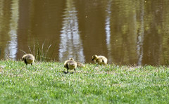 babies in the sun (Dotsy McCurly) Tags: park sun nature water beautiful reflections geese nikon babies dof nj sunny canadian goose goslings d750 local