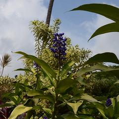 Purple Flower (rschnaible) Tags: flowers usa garden botanical outdoors hawaii us tour purple pacific sightseeing maui tourist tropical tropic lush