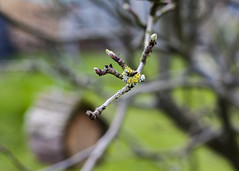 Reach Out (Hayley Susan Murphy) Tags: life new house tree green bird apple garden spring branch buds lichen twigs