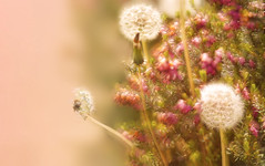 Make a Wish (charhedman) Tags: pink flowers macro bokeh heather driveway dandelions seedheads